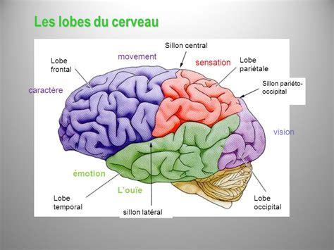 si鑒e des ノmotions dans le cerveau anatomie du snc et territoires vasculaires ppt