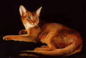abyssinian cats encyclopedia of cats breed ruddy abyssinian cat