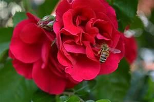 Welche Blumen Für Bienen : von bienen und blumen entdecke kraichtal ~ Eleganceandgraceweddings.com Haus und Dekorationen