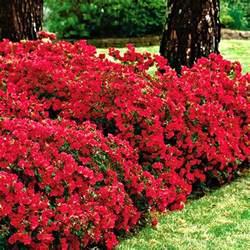 1 X Red Azalea Japanese Evergreen Shrub Hardy Garden Plant