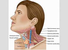 Swollen lymph nodes under chin takvim kalender hd surface anatomy lymph nodes flashcards quizlet throat anatomy glands human anatomy diagram ccuart Images