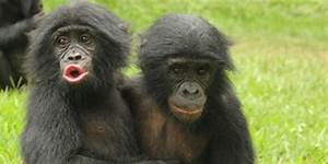 Young Apes Show Empathy  U0026 Comfort Each Other Like Human