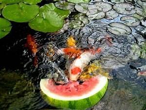 Wasserpflanzen Teich Kaufen : koi teich fische z chten seerosen garten tiere im garten ~ Michelbontemps.com Haus und Dekorationen