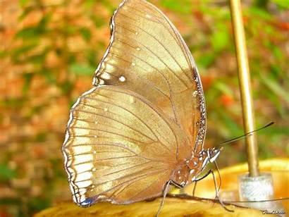 Butterfly Butterflies Wallpapers Gold Background Fanpop Backgrounds
