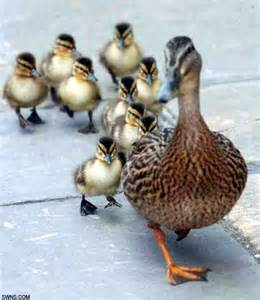 Image result for mother duck and her ducklings