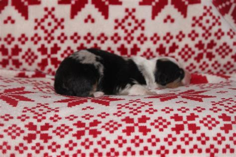 chien elevage de la perle siberienne eleveur de chiens