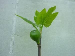 Feigenbaum Im Garten : drum und dran juni 2010 ~ Orissabook.com Haus und Dekorationen
