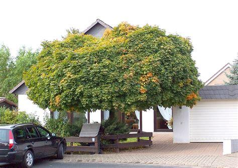 schnell wachsender baum mit breiter krone der sogenannte hausbaum im vorgarten