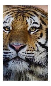 1920x1080 Tiger Wild Animal 4k Laptop Full HD 1080P HD 4k ...