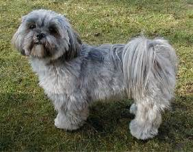 lhasa apso breed information and pictures