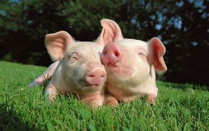 Pig Wallpapers Pigs