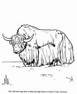 Drawing Animal Drawings Pages Yak Animals Coloring Wild Yaks Identification Draw Printable Yawning Activity Honkingdonkey Cartoon Cattle Yellow Farm Getcoloringpages sketch template