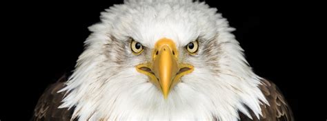 bald eagles   endangered species acts greatest