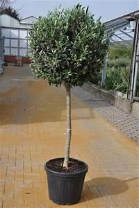 Johannisbeeren Hochstamm Kaufen : olivenbaum olea europea hochstamm von der palmenmann ~ Lizthompson.info Haus und Dekorationen