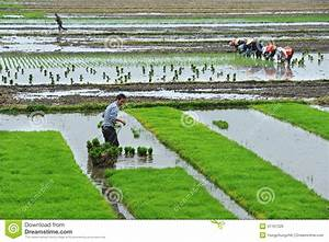 Unidentified Chinese Farmers Work Hard On Rice Field ...