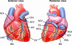 4  Anterior And Posterior Views Of Epicardial Coronary