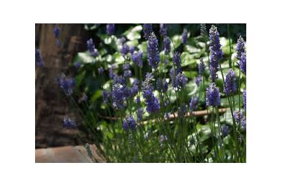 Plant Properties Uses Gifs Lavender Medicinal Herbs