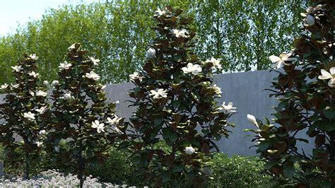 magnolia  gem blessing landscapes