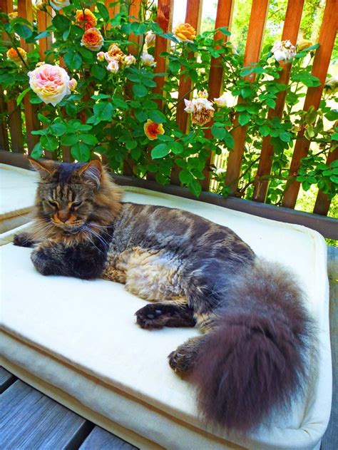 maine coon  summer haircut cats cats long haired