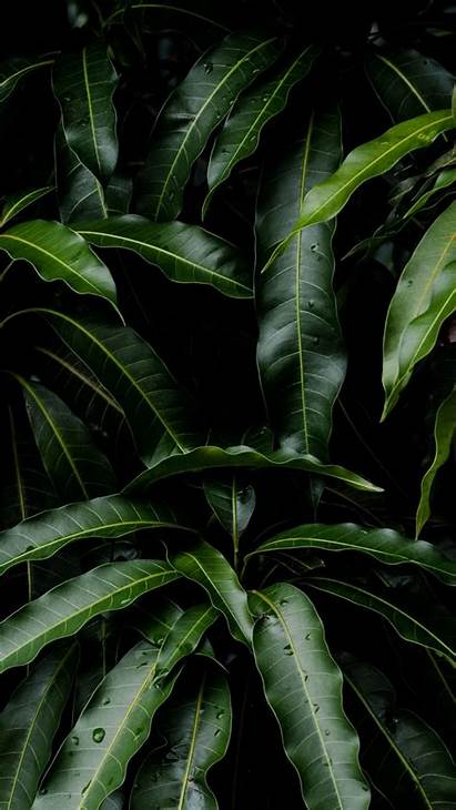 Leaves Iphone Plant Wallpapers Mango Leaf Backgrounds