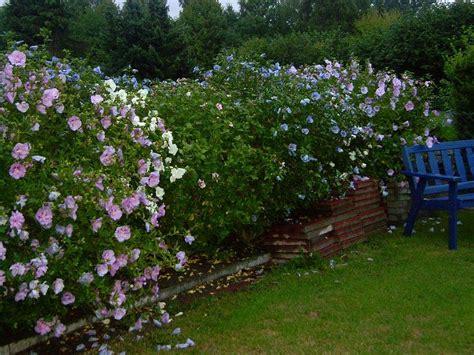 hibiskus hecke schneiden bl 252 tenhecke oder gr 252 ne hecke