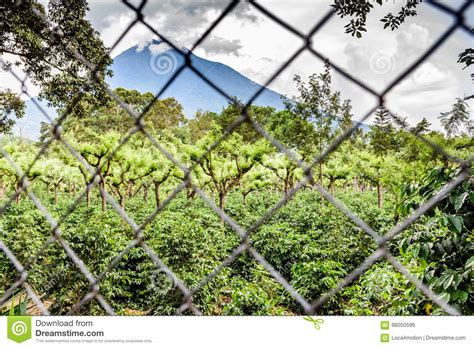 Posted on january 12, 2015 by steve. Volcano & Coffee Plantation, Guatemala Stock Image - Image of gravilea, grevilea: 98050599