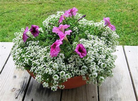 Sweet Alyssum Carpet Of Snow Carpet 100 Flower Seeds Non Gmo Hardy Free Shipping Carpet King North Myrtle Beach Country Kasson Mn Flooring Installation Process Red Season 2018 Calendar Carefree Az Palliser Cleaning Medicine Hat Installers Fort Collins Co Call Newstead