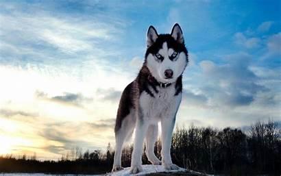 Husky Siberian Wallpapers Dog Huskies Dogs Huskey