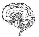 Coloring Body Brain Organs Human Pages Parts Anatomy Turkey Head Drawing Printable Getcolorings Printables Getdrawings Template Worksheet sketch template