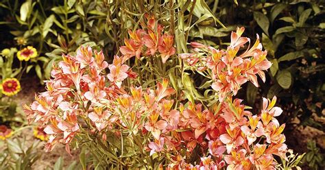 how to grow alstroemeria flowers ehow uk