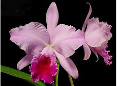 Cattleya, National Flower, Flower Guide
