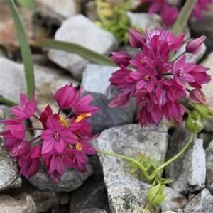 Planter Ail Rose : allium oreophilum ail d 39 ornement formant des tapis de petites fleurs rose liliac my ~ Nature-et-papiers.com Idées de Décoration