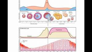 Ovarian And Uterine Cycles