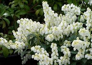 Blumen Für Schatten : pieris japonica sarabande schattengl ckchen lavendelheide ~ Lizthompson.info Haus und Dekorationen