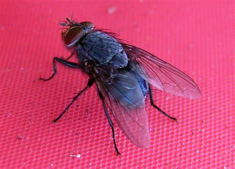 Natural Fly Repellent  The Kebun