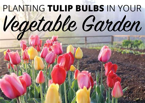 planting tulip bulbs in your vegetable garden longfield