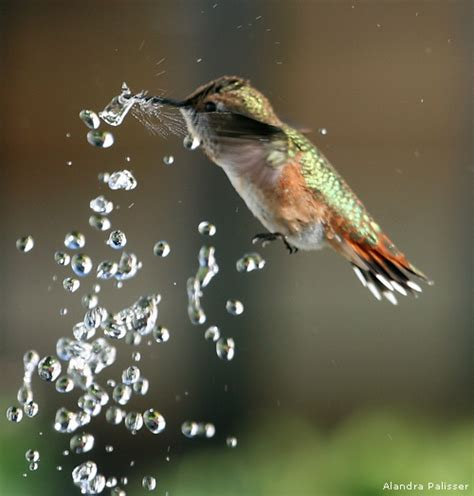 photo of the day rufous hummingbird the national