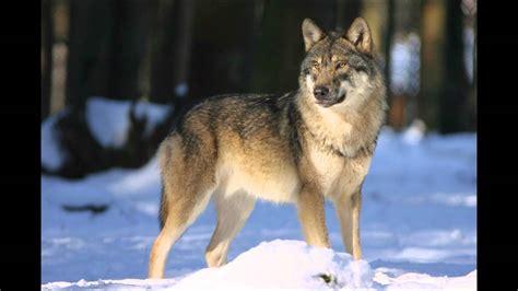die fabel der hund und der wolf youtube