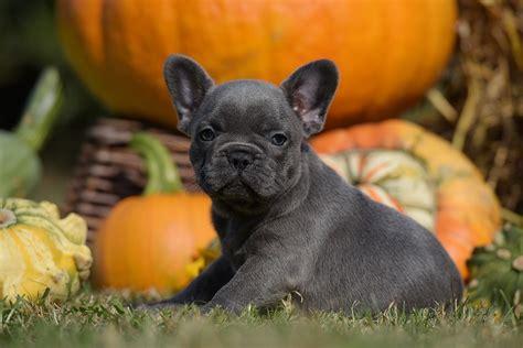 franzoesische bulldogge hund  schweiz franzoesische