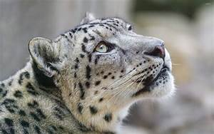 Snow leopard [3] wallpaper - Animal wallpapers - #44200