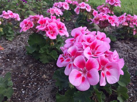 best winter flowers for florida gardens miss smarty plants