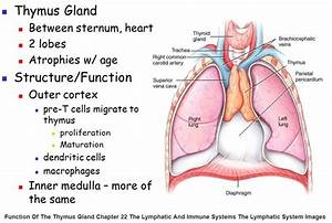 Thymus Gland Function Diagram