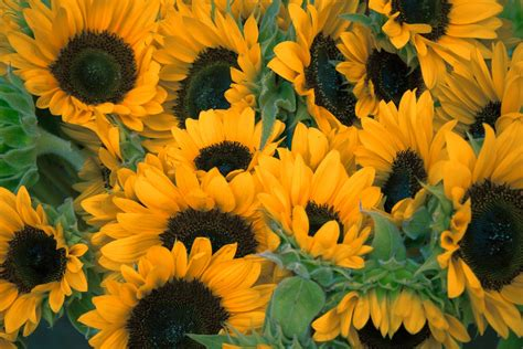 Sunflowers Pictures  Download Free Images On Unsplash