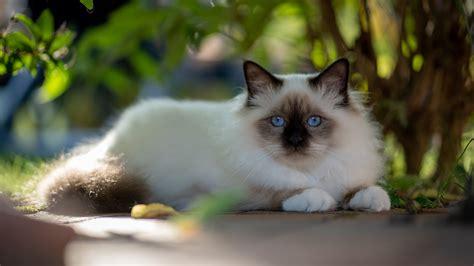 blue eyes black nose white cat  lying   ground