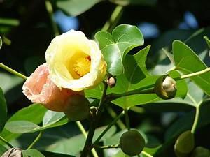image of a family tree thespesia populnea wikipedia