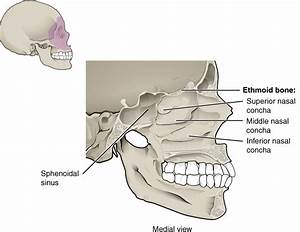 7.2 The Skull – Anatomy and Physiology