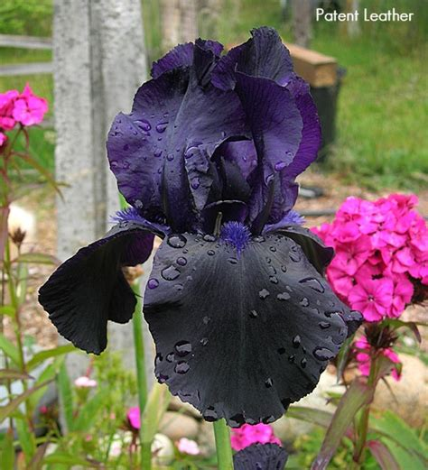 iris patent leather a shiny black iris garden plants indigo beautiful and