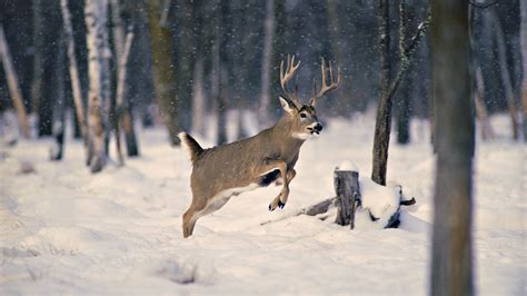 Animal Deer Wallpaper - winter deer wallpaper backgrounds wallpapersafari
