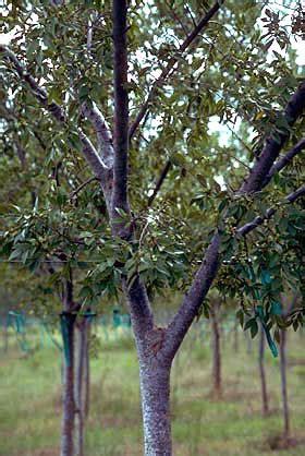 poor tree quality nursery production landscape plants