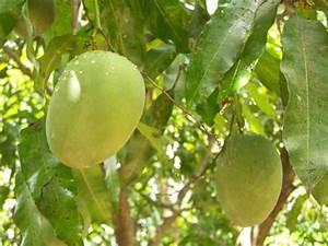 Pflanzen Bewässern Mit Plastikflasche : mangokern einpflanzen mango selber z chten 2 ~ Frokenaadalensverden.com Haus und Dekorationen